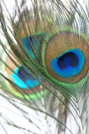 plumes: Iridescent peacock feather on the white background