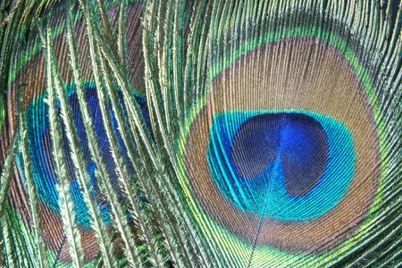 Iridescent peacock feather on the black background photo