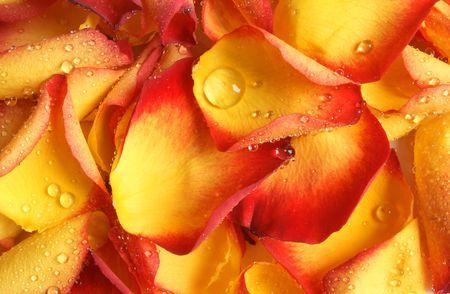 Closeup petals of rose covered dew photo