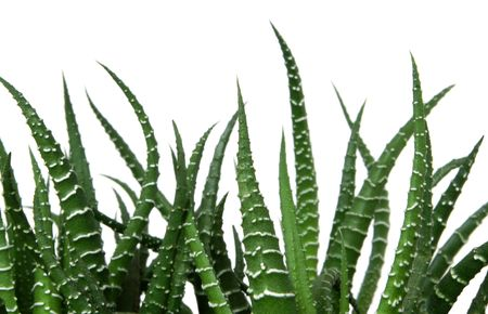 types of cactus: Agave cactus isolated on the white background