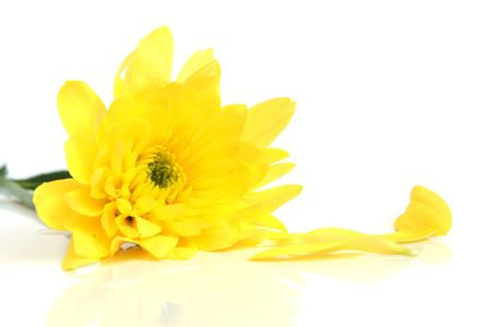 Closeup of yellow flower on a white background Stock Photo - 6952660