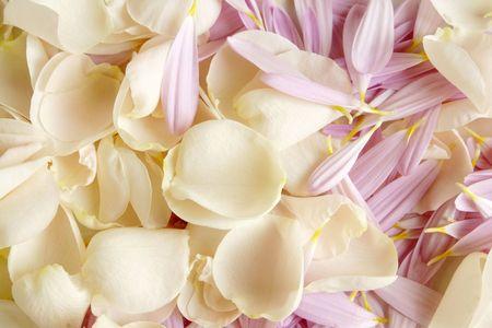 Closeup petals of rose and gerbera Stock Photo - 6952765