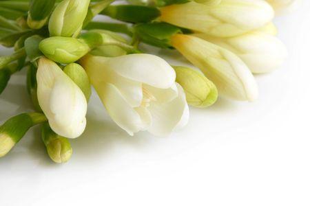 Closeup of white freesia on a white background photo