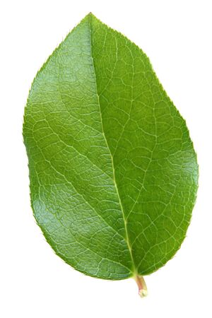 Green leaf isolated on the white background Stock Photo - 6952799