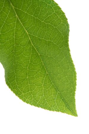 Green leaf isolated on the white background Stock Photo - 7185271