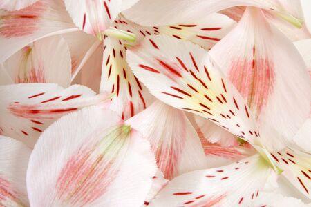 Closeup petals of alstroemeria, for backgrounds or textures Stock Photo - 7410263