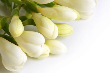 Closeup of white freesia on a white background photo