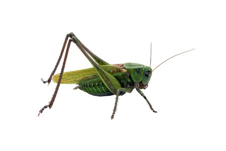 Locust isolated on the white background Stock Photo - 7554307