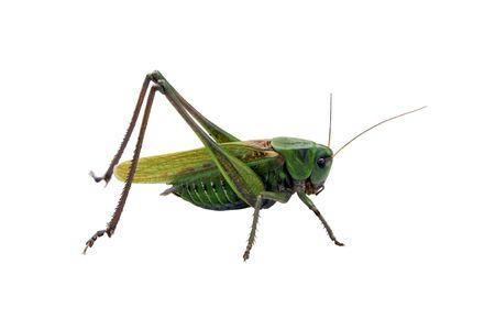 feeler: Locust isolated on the white background Stock Photo