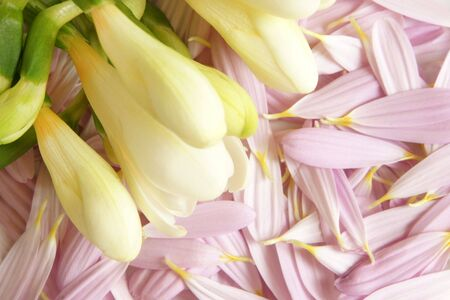 Closeup of white freesia on a background from petals of gerbera Stock Photo - 7988852