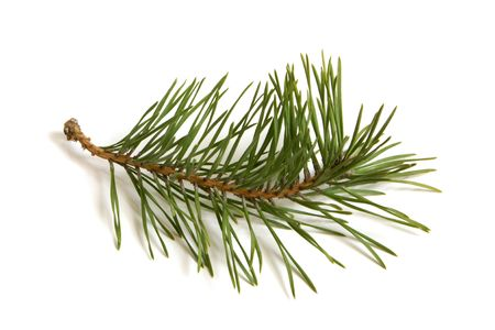 pine wreath: Pine branch on white background