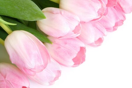 Fresh pink tulips on a white background photo