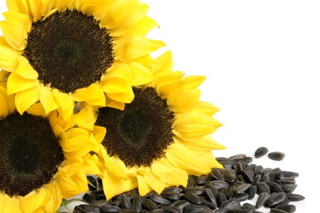 black seeds: Yellow sunflowers and sunflower seeds on a white background