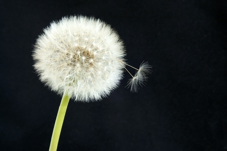 wind up: Dandelion on a black background