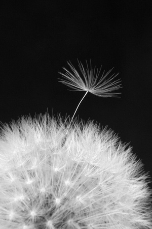 black seeds: Dandelion on a black background