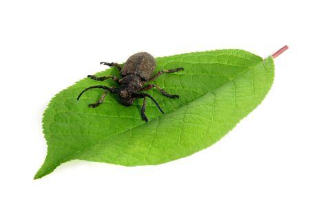 Capricorn beetle on a green leaf Stock Photo - 9947468