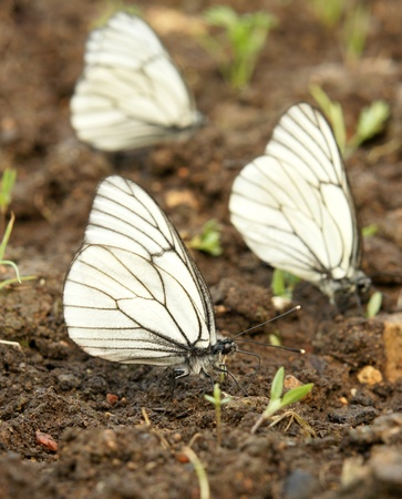 pieridae: Black-veined white butterflies  Aporia crataegi  Stock Photo