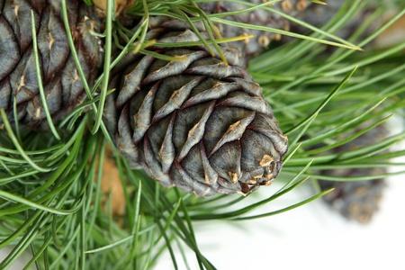 pino: Siberia rama de pino con los conos sobre un fondo blanco