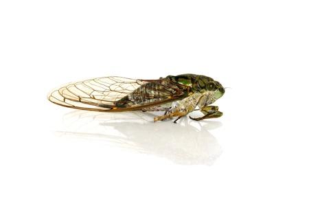 cicada bug: Cicada on a white background