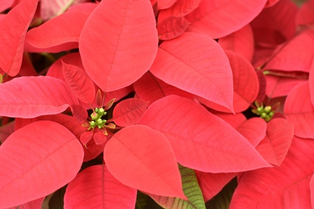 Close up of red poinsettia flowers, for backgrounds or textures