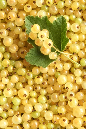 Berries of a white currant, for backgrounds or textures photo