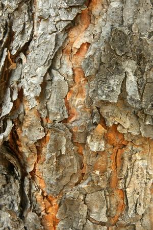 pinetree: Closeup of pine-tree bark texture