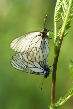 A mating pair of black-veined white butterflies (Aporia crataegi) on a green background photo