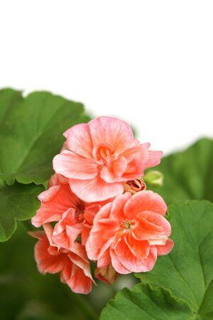 Blossoming salmon geranium on a white background photo