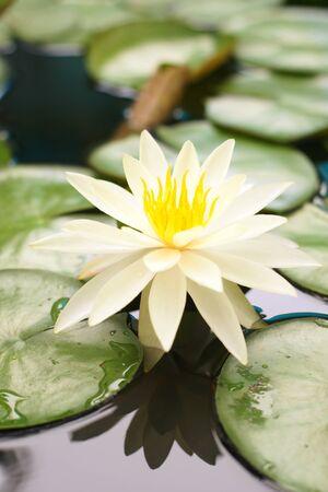 lirio acuatico: Lirio de agua blanco en un estanque