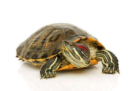 green turtle: Pond terrapin on a white background