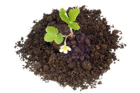 nurseling: Young strawberry plant in soil on a white background