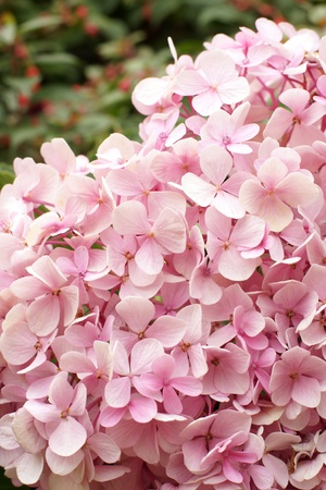 Pink hydrangea blooming, a vertical picture photo