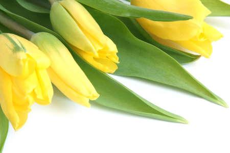 Fresh yellow tulips on a white background photo