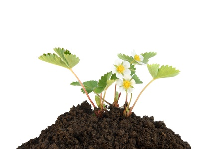 Young strawberry plant in soil isolated on a white background photo