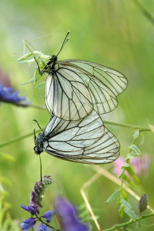 copulation: A mating pair of black-veined white butterflies (Aporia crataegi) on a green background Stock Photo