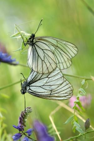 Un par de apareamiento de color negro con vetas blancas mariposas (Aporia crataegi) sobre un fondo verde Foto de archivo