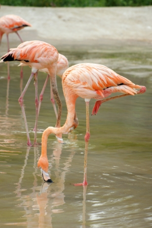 pink flamingo: Flamingos are searching feed in the water