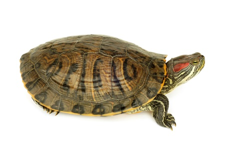 terrapin: Pond terrapin on a white background