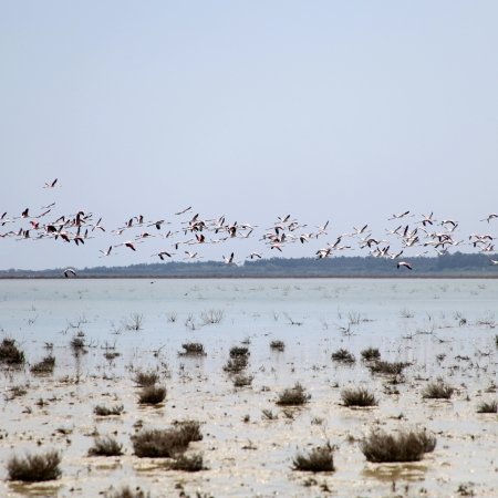 Greater Flamingos in flight over Salt Lake in the Cyprus Stock Photo - 15202773
