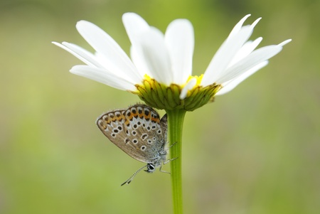 A close-up of the butterfly (plebejus argus) on white camomile flower, a horizontal picture photo