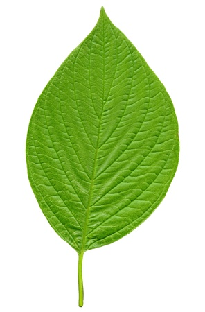 Green leaf isolated on a white background Stock Photo - 15914710