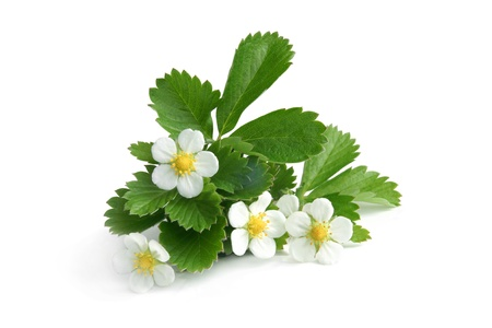 Junge Erdbeerpflanze auf weißem Hintergrund Standard-Bild