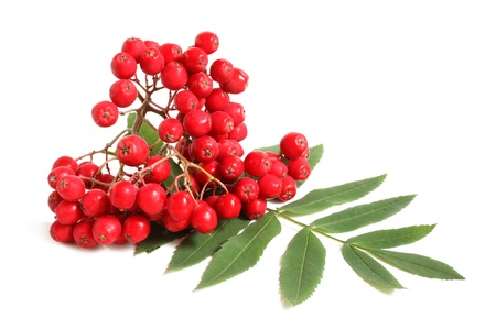 rowan tree: Branch of ashberry with green leaf on a white background Stock Photo