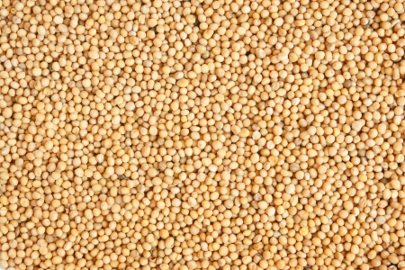 germination: White mustard seeds, for backgrounds or textures