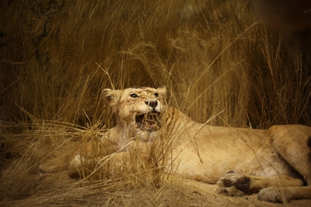 Lioness portrait, a horizontal picture Stock Photo - 17142275