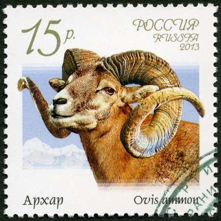 RUSSIA - CIRCA 2013: A stamp printed in Russia shows argali (Ovis ammon), series Fauna of Russia, Wild goats and rams, circa 2013 photo