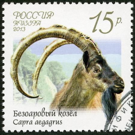 RUSSIA - CIRCA 2013: A stamp printed in Russia shows wild goat (Capra aegagrus), series Fauna of Russia, Wild goats and rams, circa 2013 photo