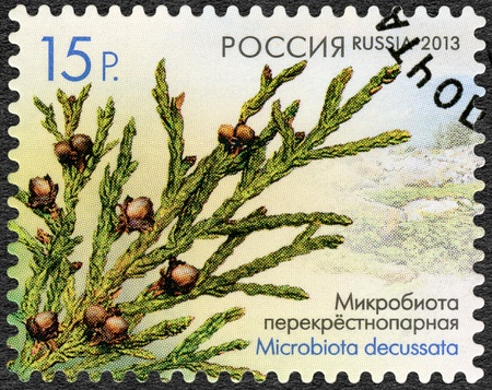 RUSSIA - CIRCA 2013: A stamp printed in Russia shows Microbiota decussata, series Flora of Russia, Cones of coniferous trees and shrubs, circa 2013