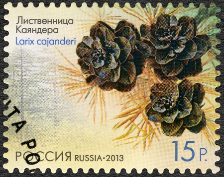 RUSSIA - CIRCA 2013: A stamp printed in Russia shows Larch Cajanderi (Larix cajanderi), series Flora of Russia, Cones of coniferous trees and shrubs, circa 2013