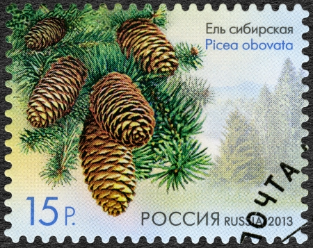 RUSSIA - CIRCA 2013: A stamp printed in Russia shows Siberian Spruce (Picea obovata), series Flora of Russia, Cones of coniferous trees and shrubs, circa 2013